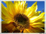 :: Sun-Flower ::