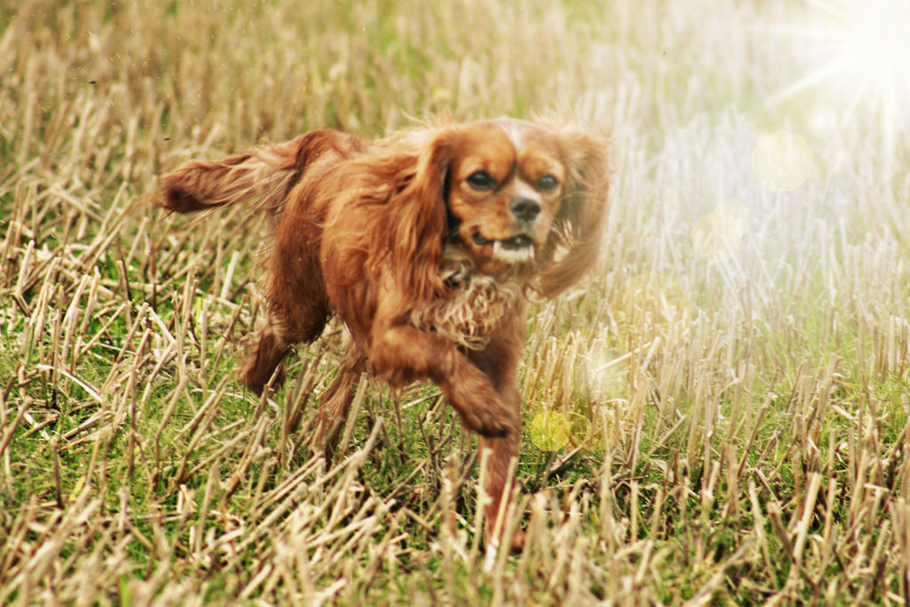 Cavalier King Charles Spaniel Running by VlinderButterfly