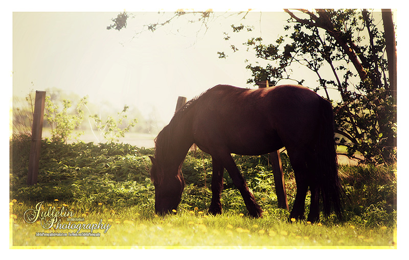 Friesian 59 by JullelinPhotography