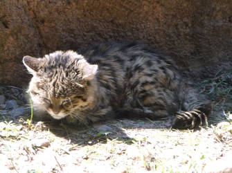 Black Footed Cat OKC Zoo by 1tiptip1