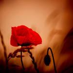 Poppy by nicolehinrichs