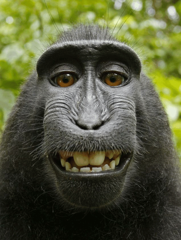 Crested Black Macaque 3