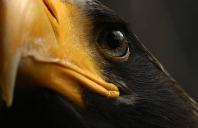Sea Eagle by krystledawn