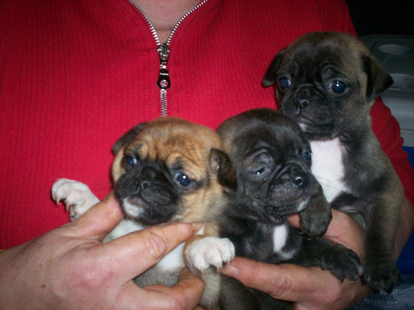 Chihuahua, pug mix puppies :D by ~lordtalpadevil666 on deviantART