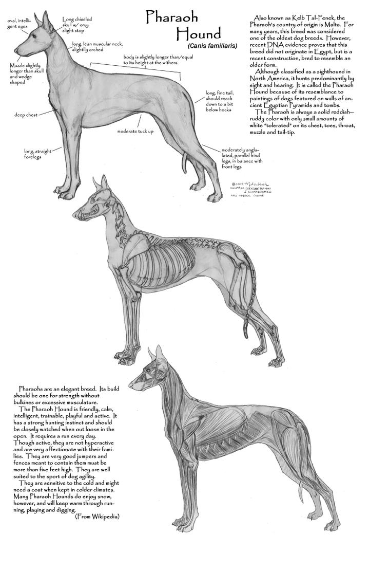 Pharaoh Hound Anatomy study by Faryndreyn on DeviantArt
