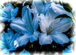 White Azaleas by vanndra