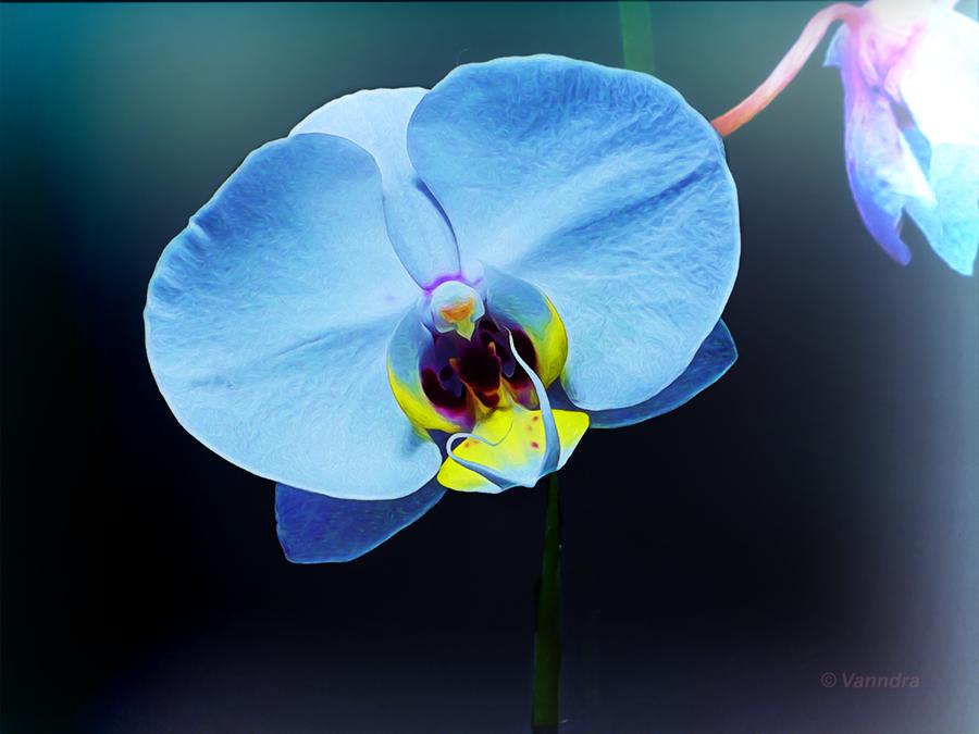 Phalaenopsis Orchid by vanndra