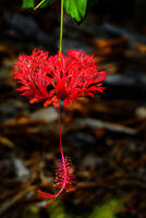 Red Hibiscus by vanndra