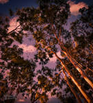 Gum Trees, Late Afternoon