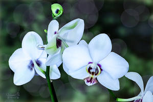 Phalaenopsis Orchard in Flower by vanndra
