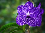 A Vanda Orchid for Pia