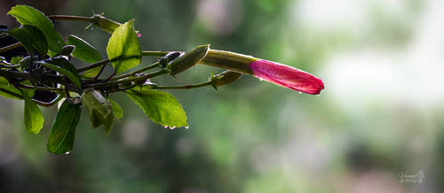 Hibiscus Buds of Spring by vanndra