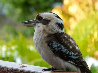 Kookaburra by vanndra