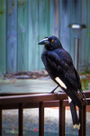 Our Friend Currawong by vanndra