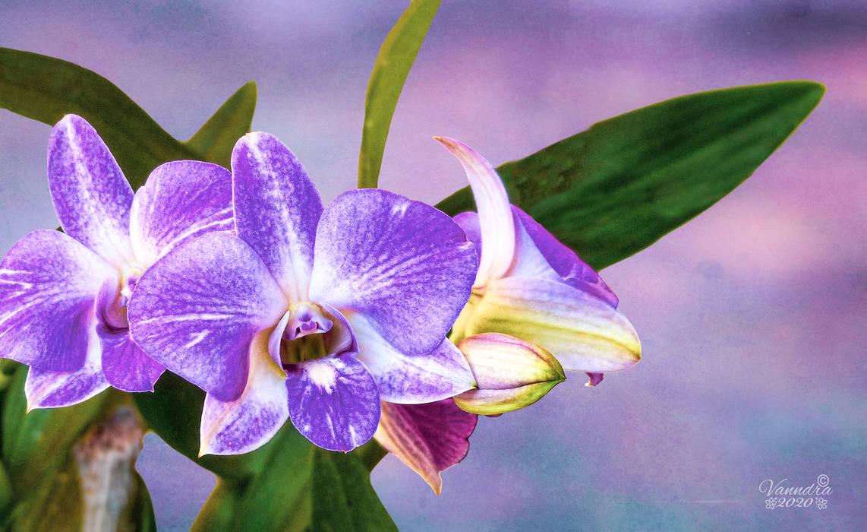 Mauve Orchid by vanndra