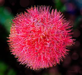 Christmas Flower by vanndra
