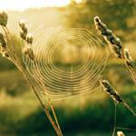 small cobweb