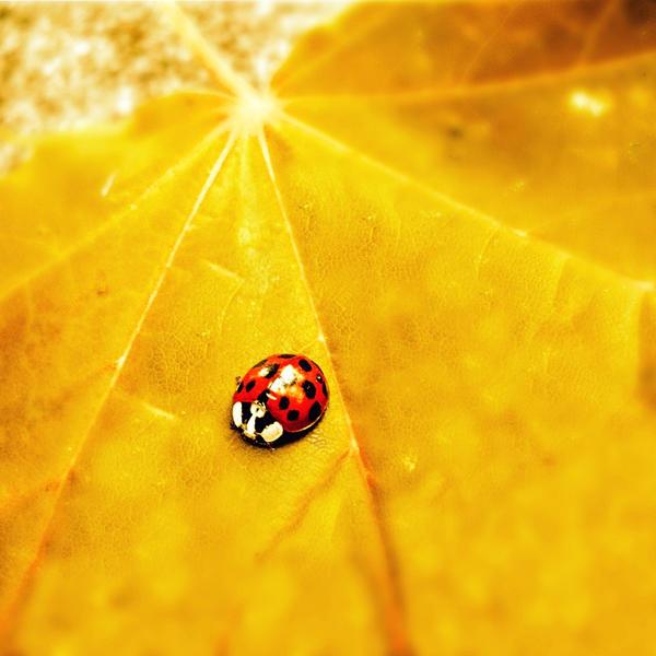 .: autumn ladybug :. by all17