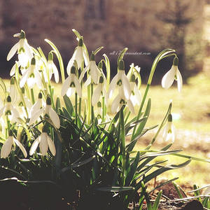 .: snowdrops :. by all17