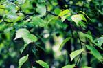 .: leafs :.