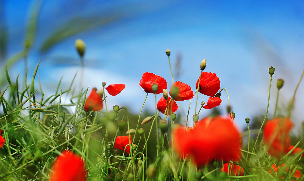 poppies by all17