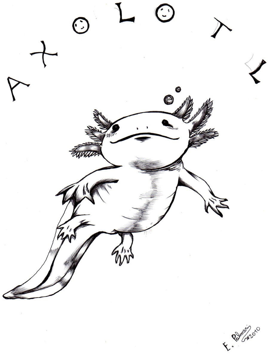 Axolotl Drawing