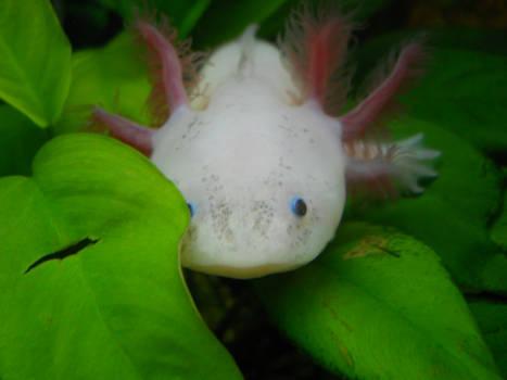 Paola the axolotl 3