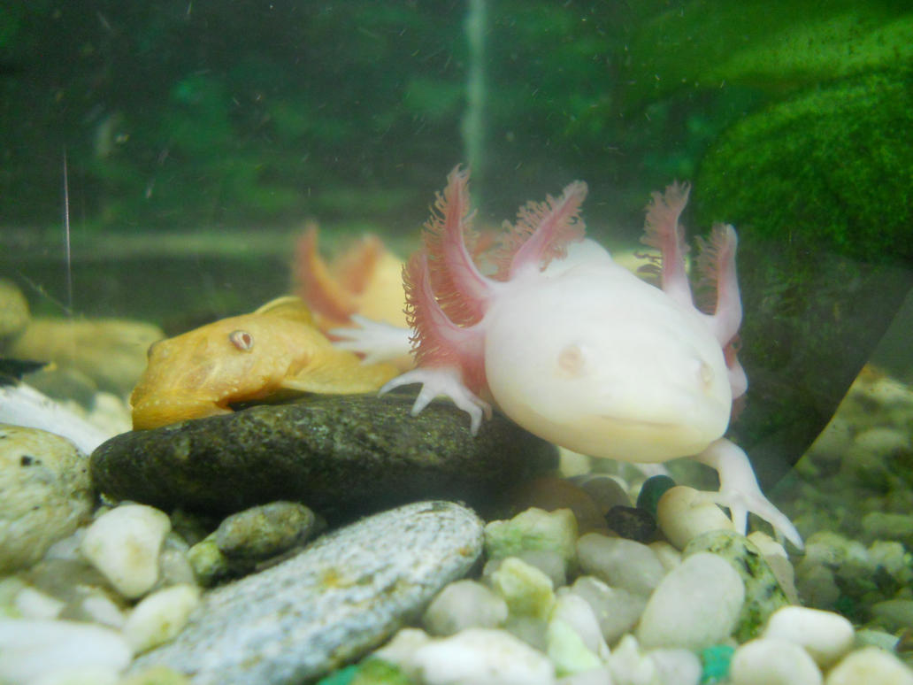 axolotl and ancistrus by FuriarossaAndMimma on DeviantArt