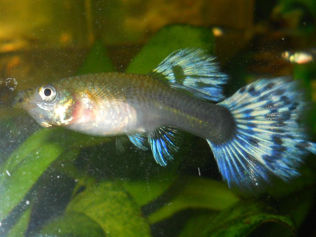 Orange Female Guppy Guppy Blue Female by