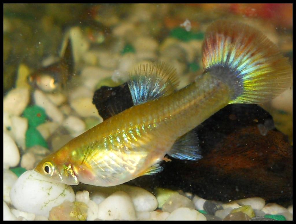 female guppy by furiarossaandmimma on deviantart