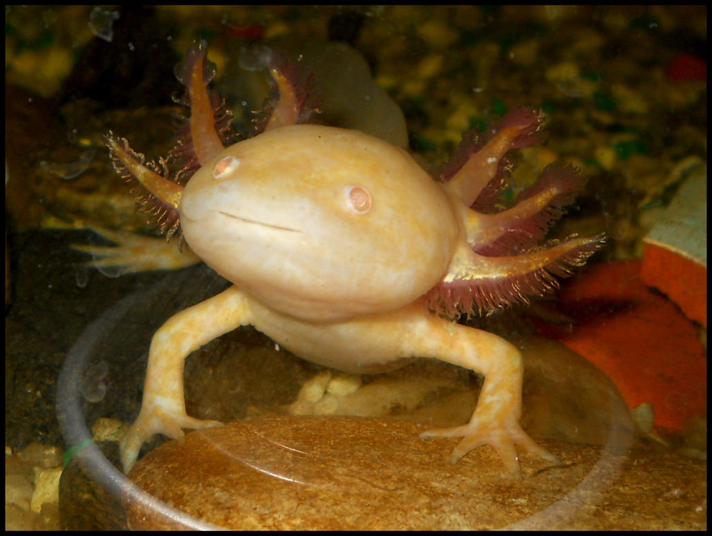 ambystoma mexicanum golden 2 by furiarossaandmimma on
