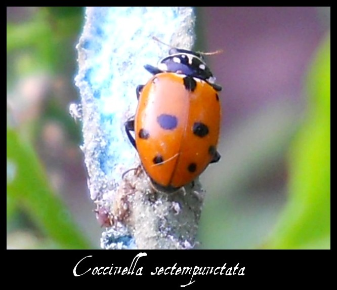 Coccinella septempunctata by FuriarossaAndMimma