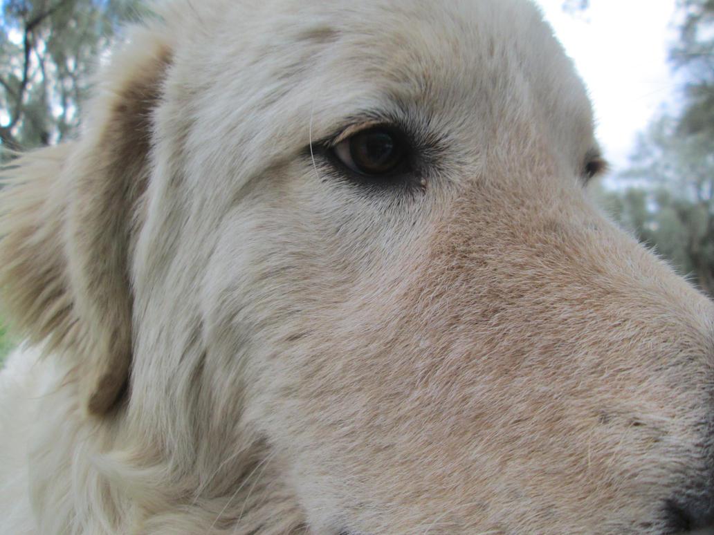 Big white dog head 4 by FuriarossaAndMimma