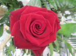 Rose 5 by FuriarossaAndMimma