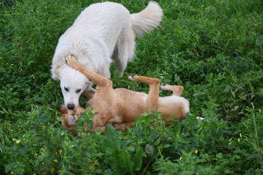 Dogs playing outdoor 2
