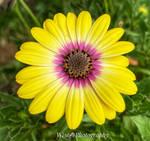 African Daisy: My Garden