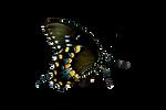Butterfly Stock