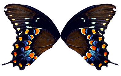 Butterfly Wings - Natural