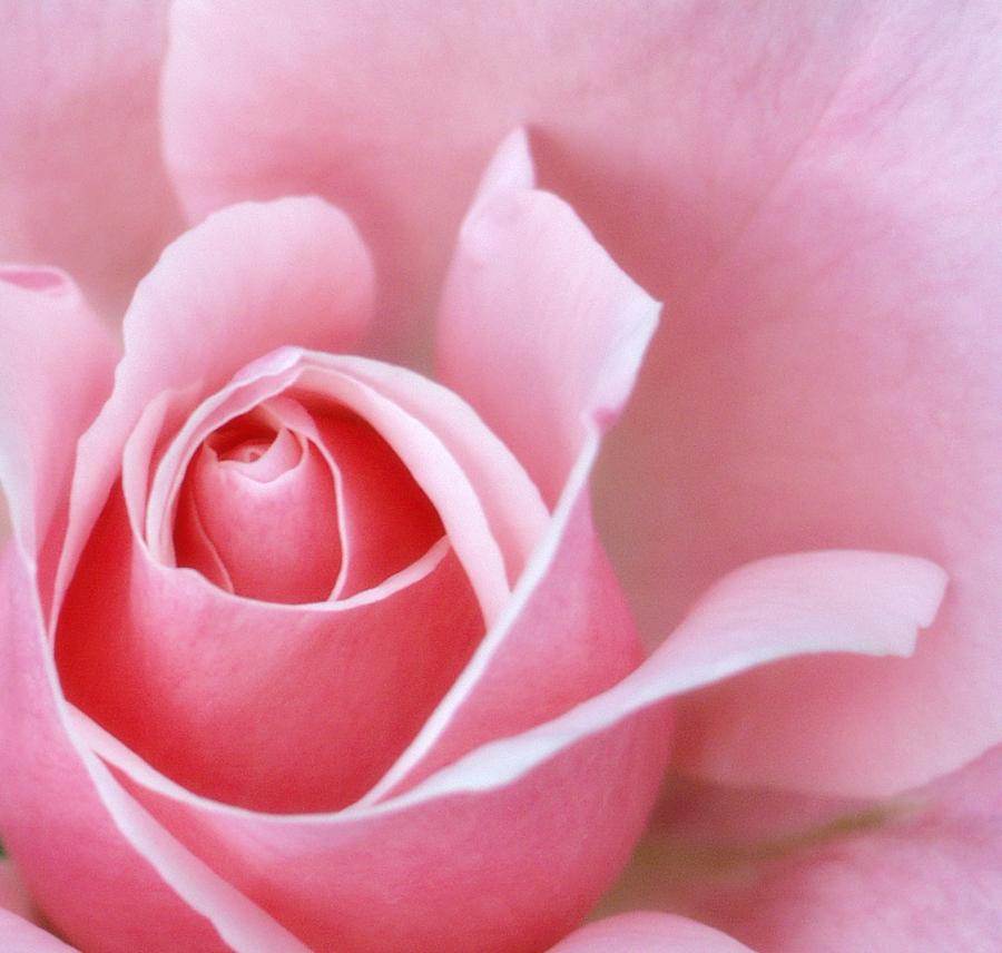 Pretty Pink Rose by FilipR8