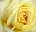 Yellow Living Rose