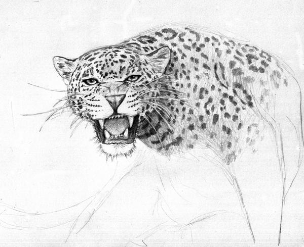 jaguar animal roar drawing