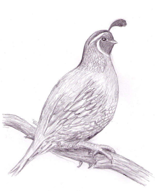 Quail Drawing