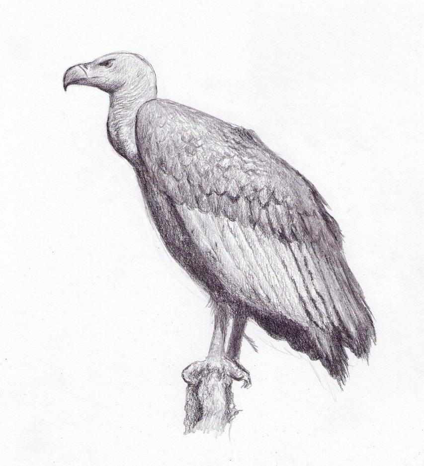 Vulture By Dashinvaine On DeviantArt