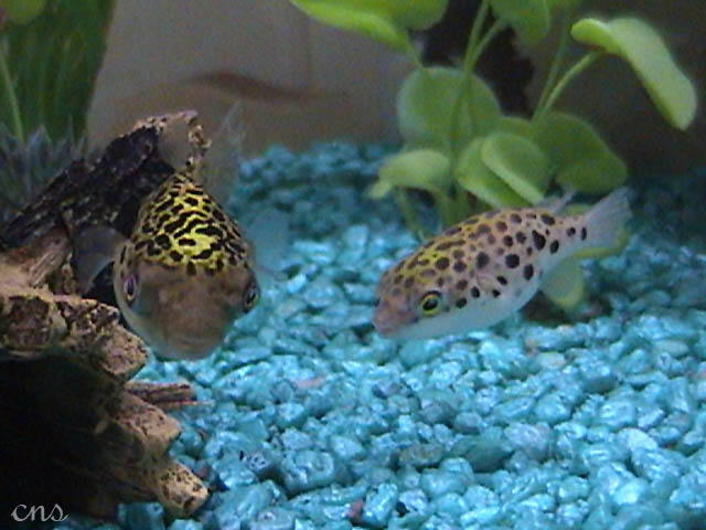 Figure Eight Puffers by O-O-P on DeviantArt