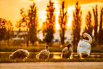 Swans family by LensmanTheGreat
