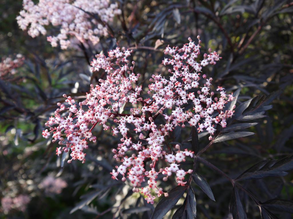Elderberry flower by 97Cas