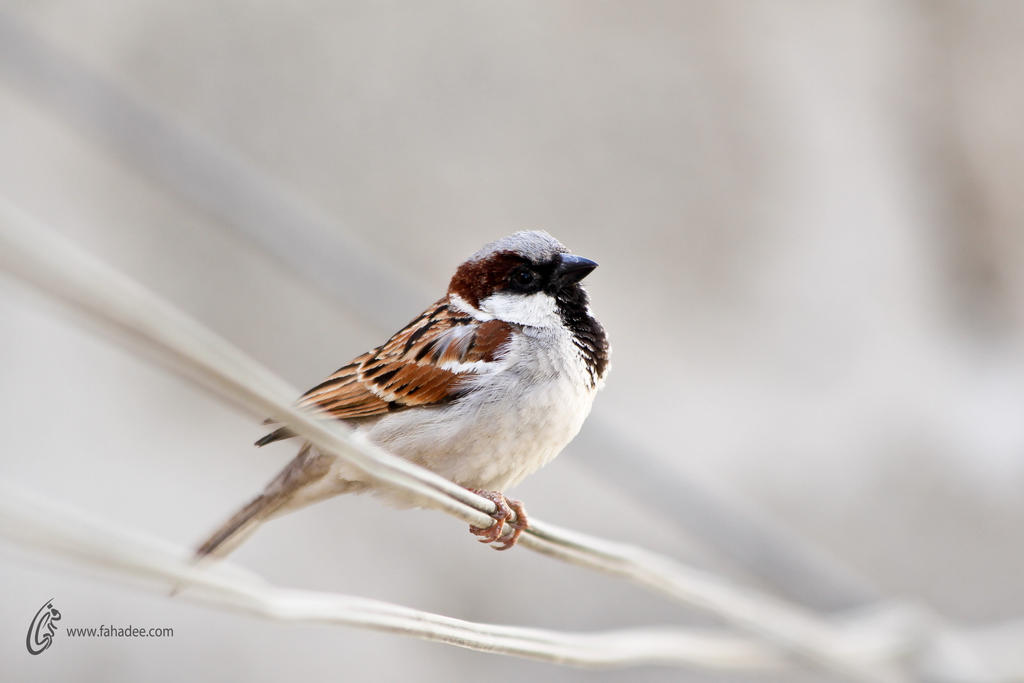 Innocent Sparrow by fahadee