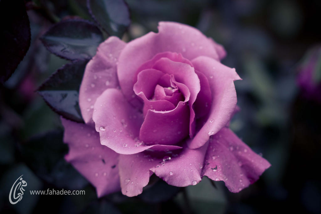 Purple Rose by fahadee
