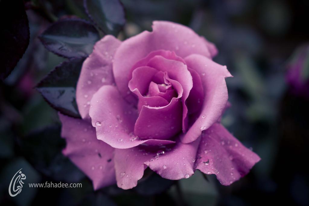 Purple Rose by fahadee