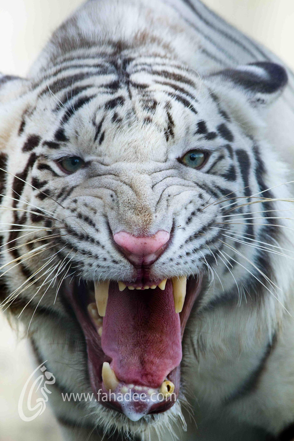 Angry White Tiger by fahadee on DeviantArt
